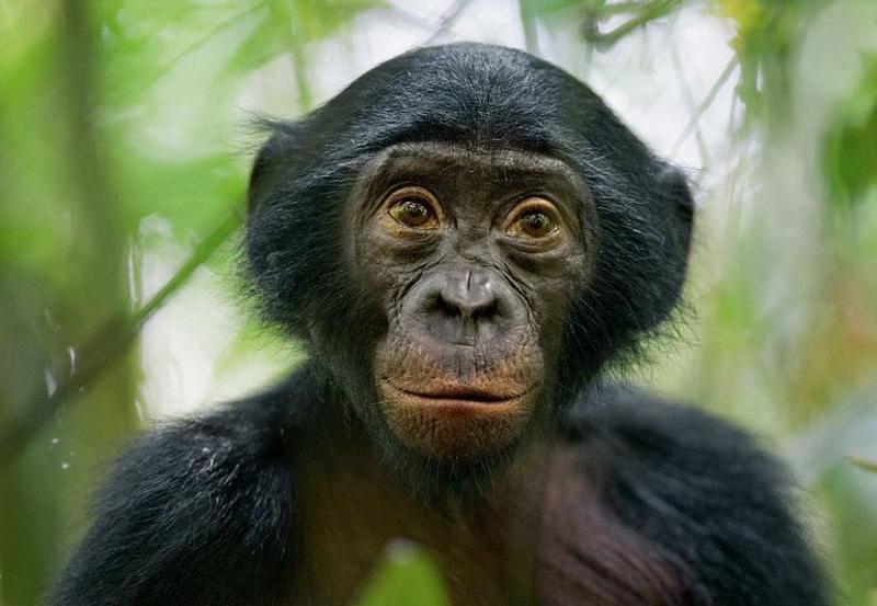 Секс крупных особий обезьян